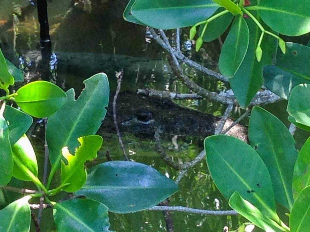 Un coccodrillo tra le mangrovie