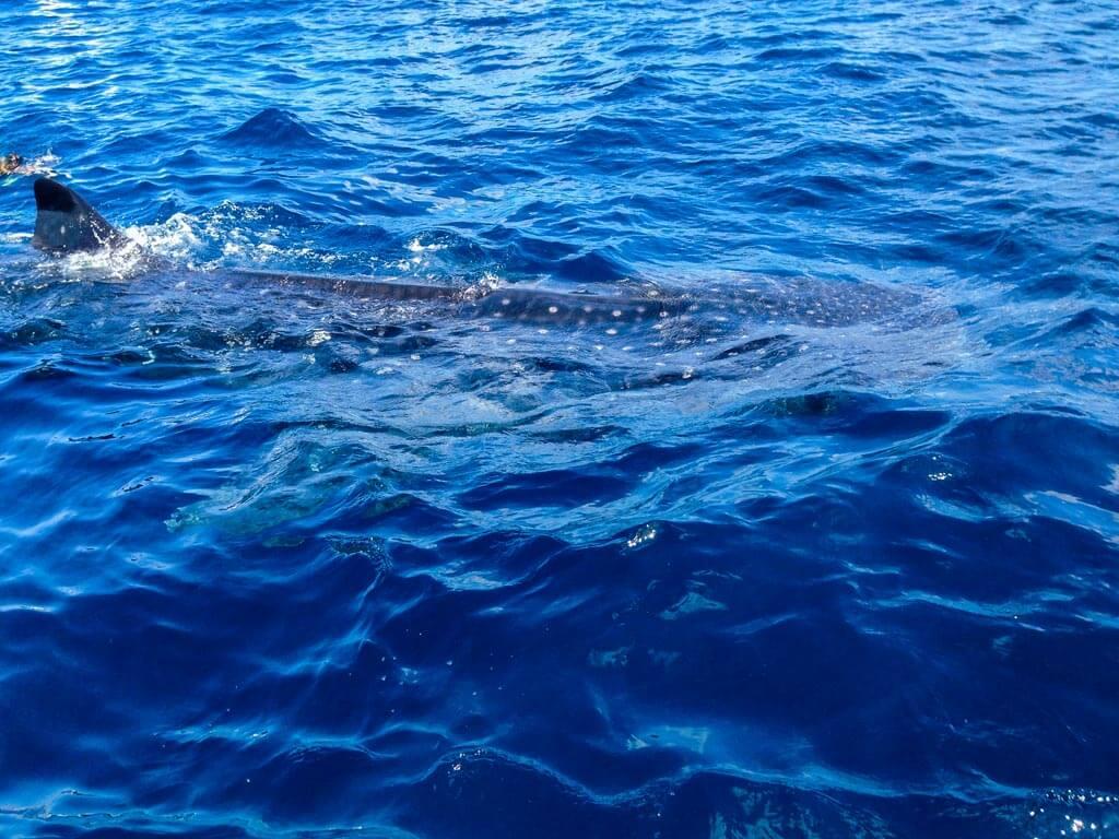 Messico - Squali Balena
