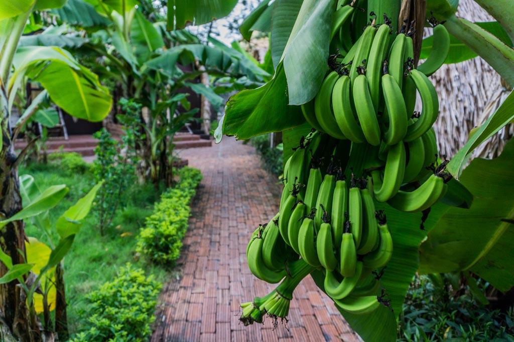 Vietnam del nord - Tam Coc Bungalow - banane