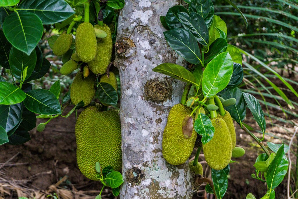 Frutti Durian appesi all'albero