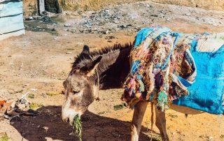 Asino con coperta azzurra addosso che mangia l'erba per la strada