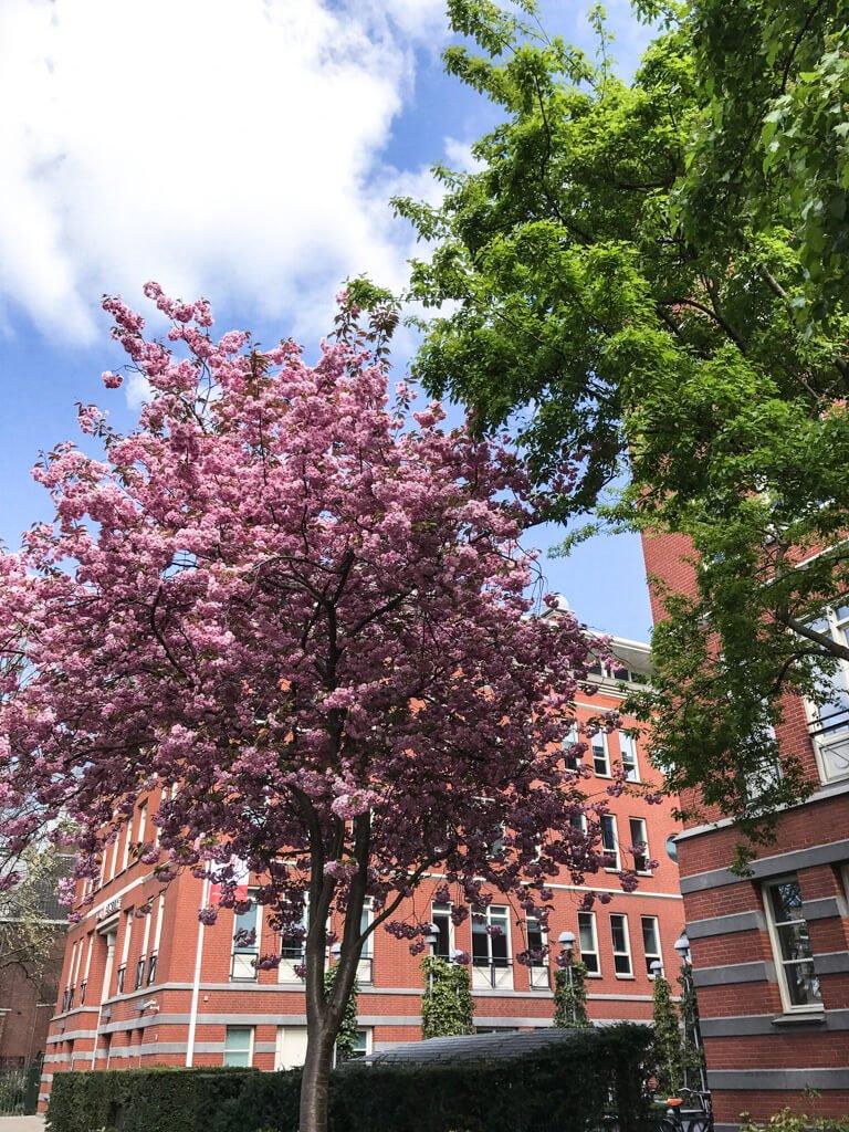 Amsterdam_ ciliegi in fiore