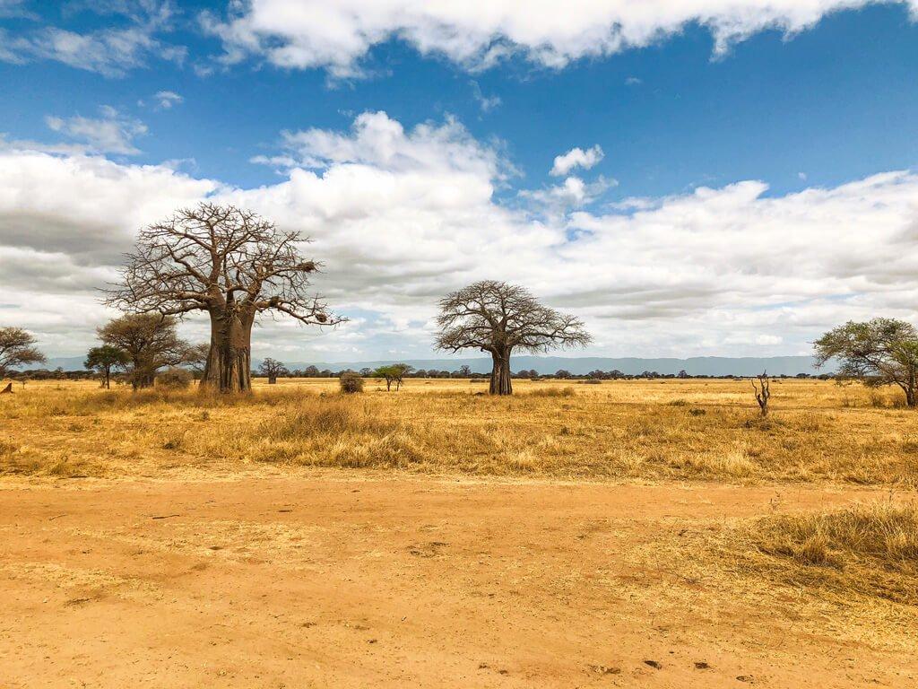 alberi di baobab nella savana di Tarangire