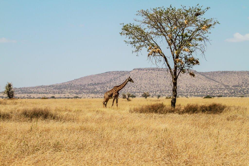 Giraffa solitaria vicino ad albero nella savana