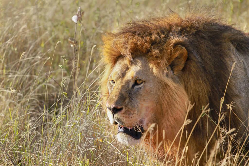 primo piano su leone nella savana