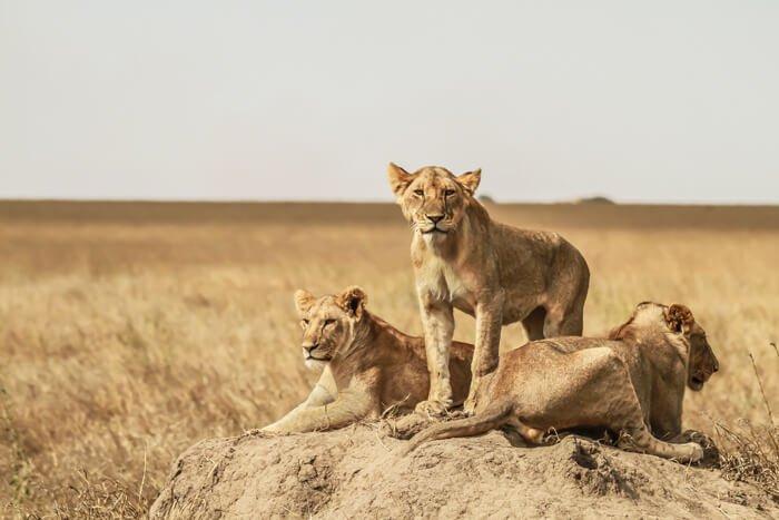 tre cuccioli di leone a Serengeti